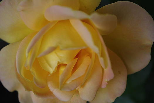 Yellow Rose by Sharon Spade - Kingsbury