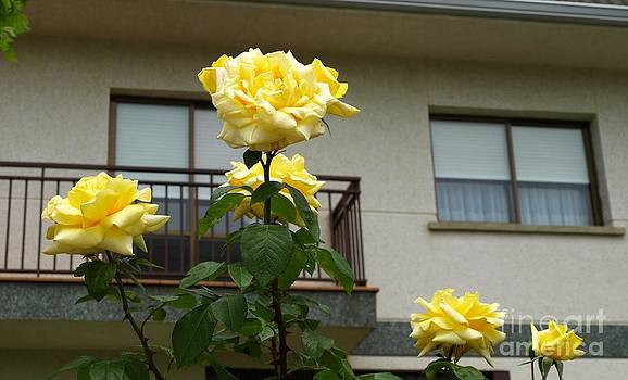 Yellow Roses and House by Alfredo Rodriguez
