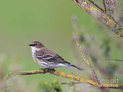 Wingsdomain Art and Photography - Yellow-Rumped Warbler Bird Perched . 40D12105