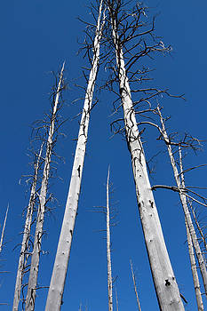 Yellowstone Trees by David Yunker