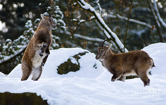 Young Alpine Ibex jumping by Andrew  Michael