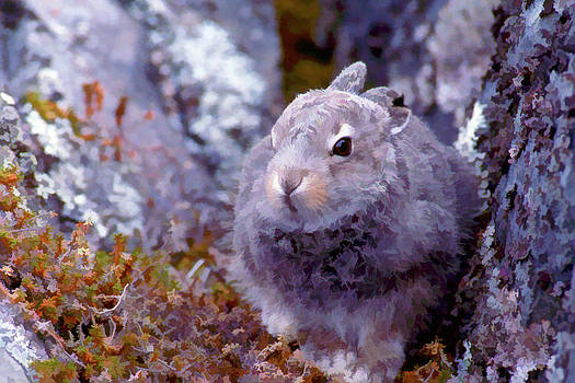 Young Arctic Hare Hiding in Rocks by Dennis Fast