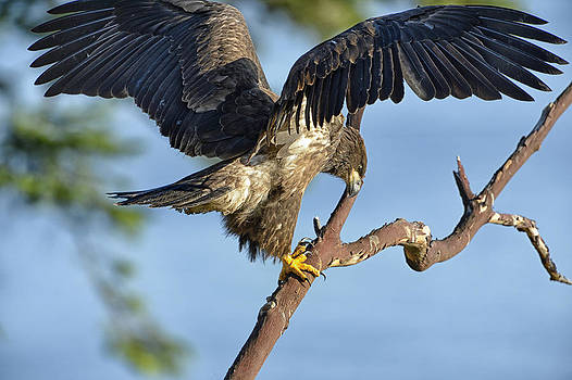 Young eagle on branch by Sasse Photo