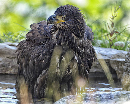 Young eagle takes a bath by Sasse Photo