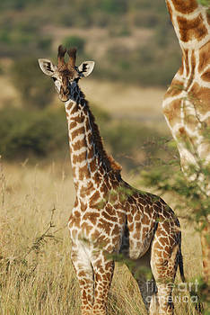 Young giraffe in the Mara by Alan Clifford
