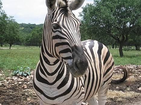 Zebra by Ademola kareem oshodi