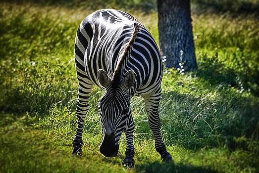 Zebra at close range by Kelly Rader