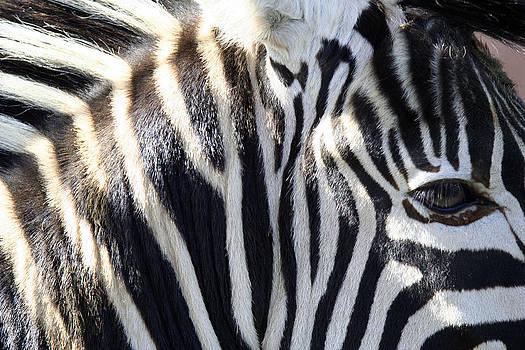 Zebra Face  by Heather Lennox