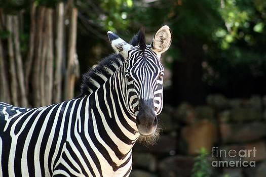 Zebra by Kelly Christiansen
