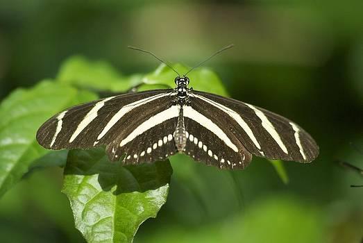 Michael Peychich - Zebra Longwing 2952