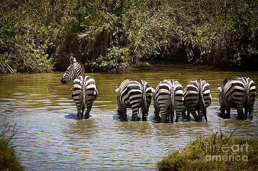 Darcy Michaelchuk - Zebras Drinking with One on the Lookout
