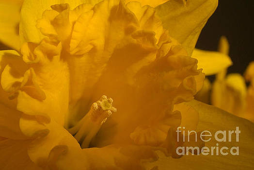Bright Yellow Daffodil by Serena Bowles