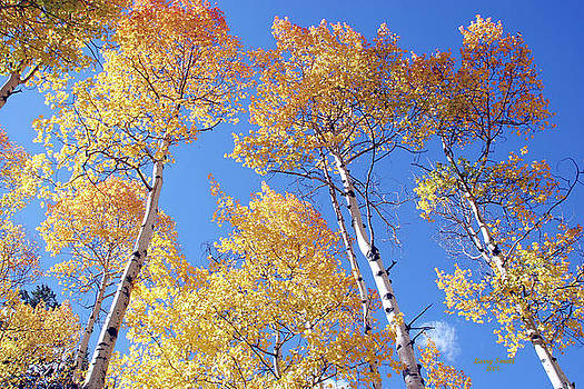 Aspen Trees  by Larry Small