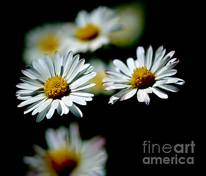 A Pair of Daisies by Pete Moyes