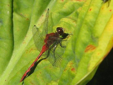 Alfred Ng -  hosta dragonfly