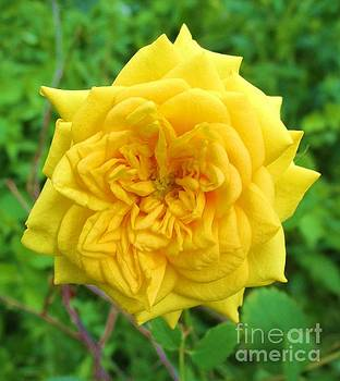 January's Yellow Rose by Trudy Brodkin Storace