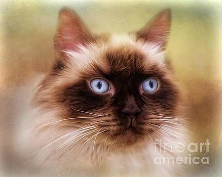 Ragdoll Cat by Trudi Simmonds