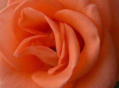 Rose whisper... get close by Sheila Price