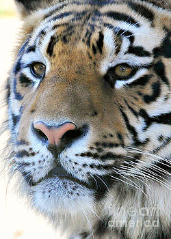 Tiger portrait  by Mindy Bench