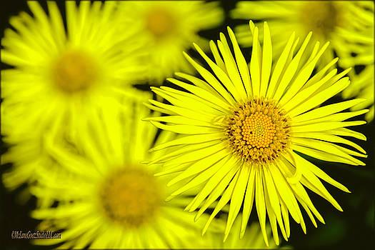 Yellow Daisy Flowers by LeeAnn McLaneGoetz McLaneGoetzStudioLLCcom