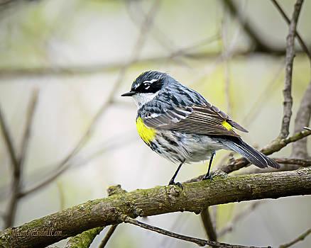 Yellow rumped Warbler by LeeAnn McLaneGoetz McLaneGoetzStudioLLCcom
