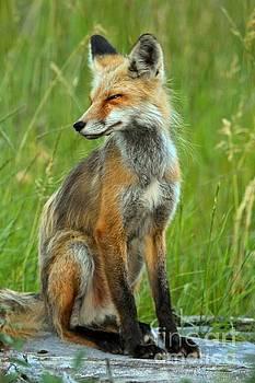 Adam Jewell - A Foxy Pose
