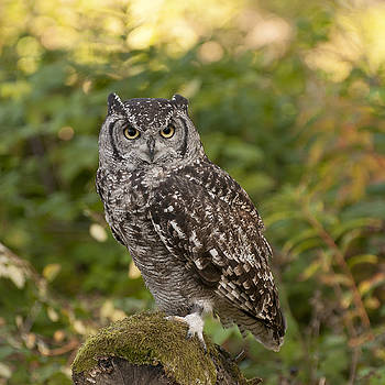 African Eagle Owl  by Sue Fulton