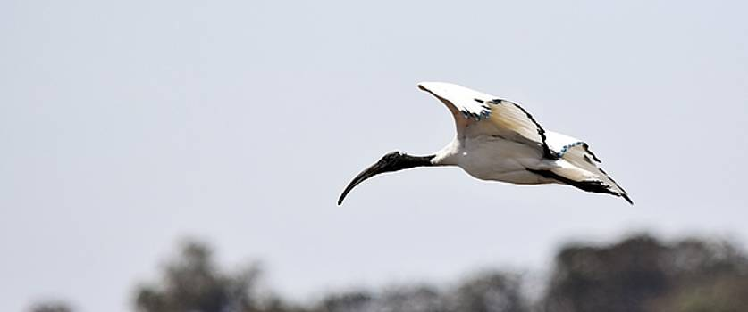 African sacred ibis... by Werner Lehmann