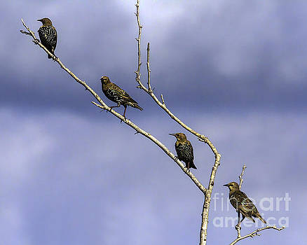 Alignment of the Starlings by Gary Holmes