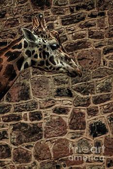 Amazing Optical Illusion Of A Giraffe by Doc Braham
