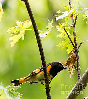 American Redstart by Natural Focal Point Photography