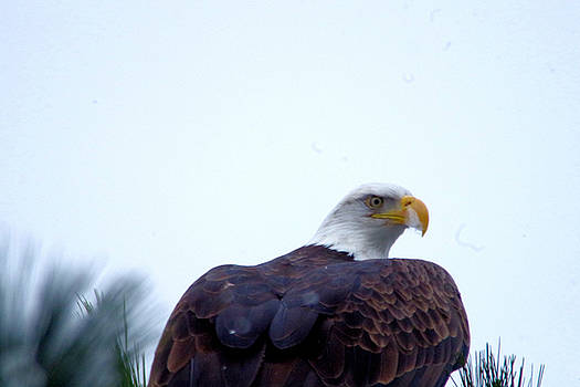 An eagle stretching its wings by Jeff Swan