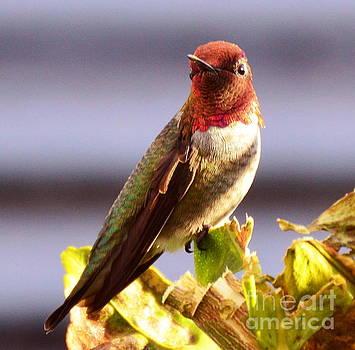 Anna's Hummingbird by Marilyn Smith