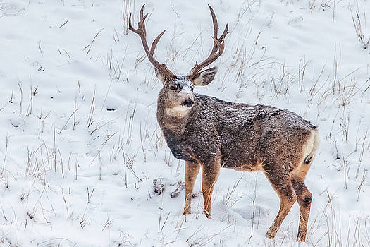 Atypical Buck by Darren White