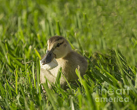 Baby Duck by Timothy OLeary