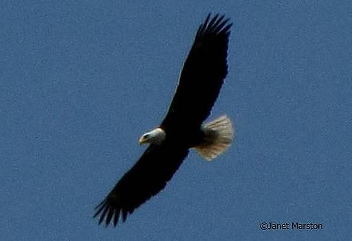 Bald Eagle in Flight by Janet Marston