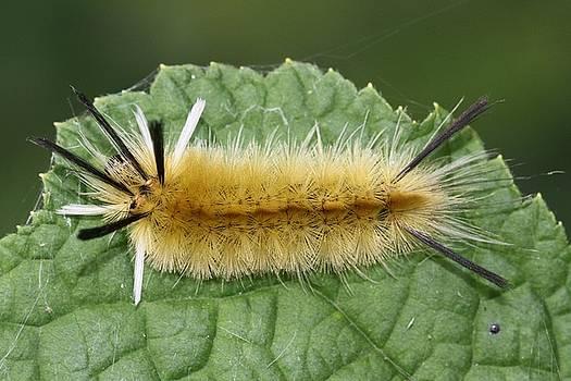 Banded Tussock Moth caterpillar by Doris Potter