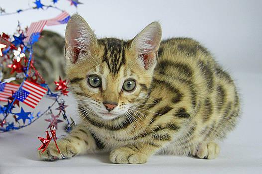 Bengal Kitten  by Shoal Hollingsworth