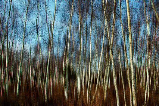 Birches by Cathy Kovarik