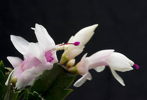 Birth of a Bloom by Dennis Reagan