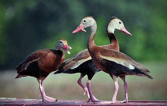 Black-bellied Whistling Ducks by Savannah Gibbs