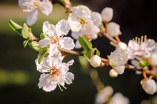 Blossom by Jeremy Sage