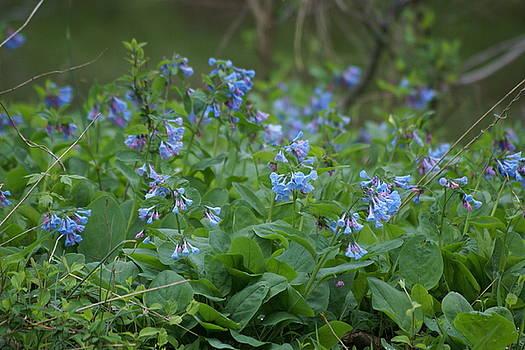 Blue bells by Heidi Poulin