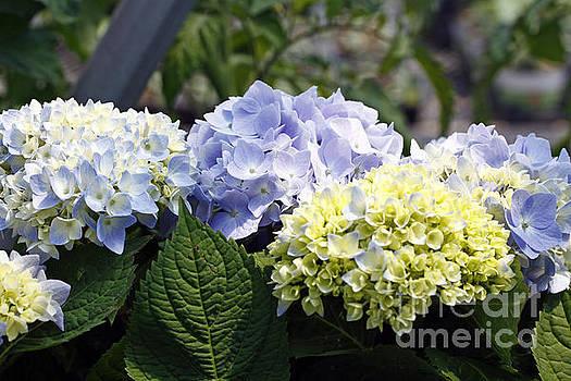 Blue Hydrangea by Denise Pohl