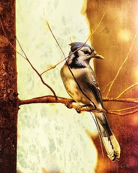 Blue Jay by Bob Orsillo