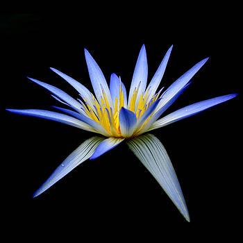 Blue Lotus by Wayne Sherriff