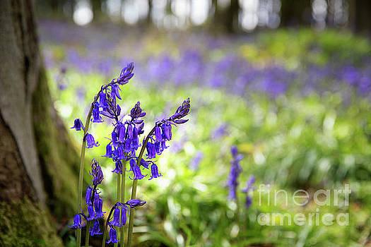 Bluebells by Jane Rix