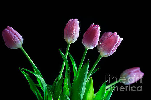 Blushing Tulips by Tracy Hall