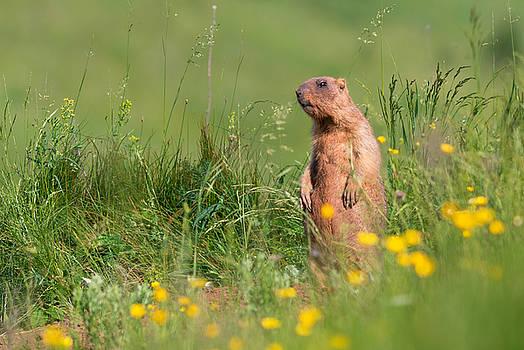 Bobak Marmot by Sergey Ryzhkov