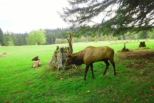 Bull Elk in Rut by Jeff Swan